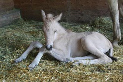 buckskin quarter horse, Jumping Jack Whiz, Hollywood Heat