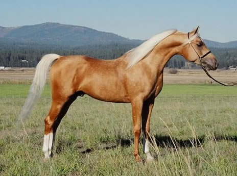http://www.kriseanhorses.com/goldenvagdhanarabianpalominostallion/images/PromiseShowStand-6_000.jpg