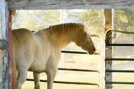 Perlino quarter horse stallion - photo#9