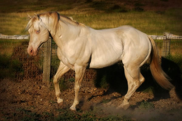 Perlino quarter horse stallion - photo#3