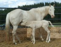 Blondies Cat, cremello quarter horse mare