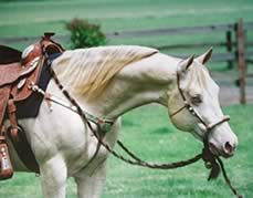 AQHA perlino stallion