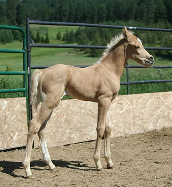 Arabian palomino colt by Promise