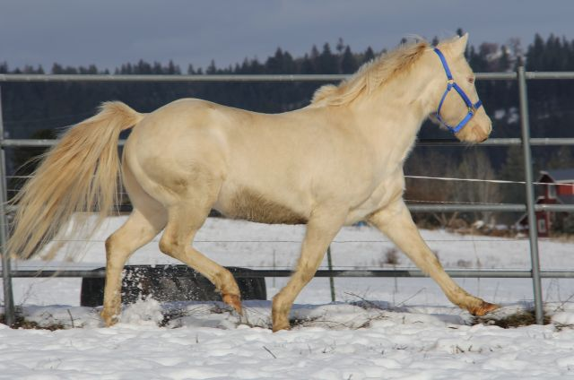 AQHA perlino stallion, quarter horse perlino stallion for sale, Doc Bar / Leo bred perlino quarter horse stallion