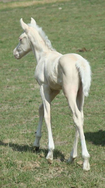 Arabian Cremello stallion
