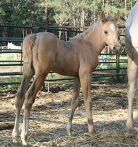 Palomino Arabian filly