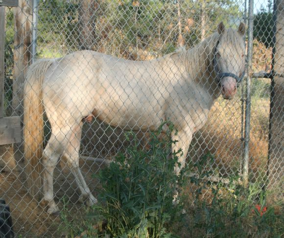 Perlino quarter horse stallion available for lease
