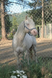 Perlino quarter horse stallion