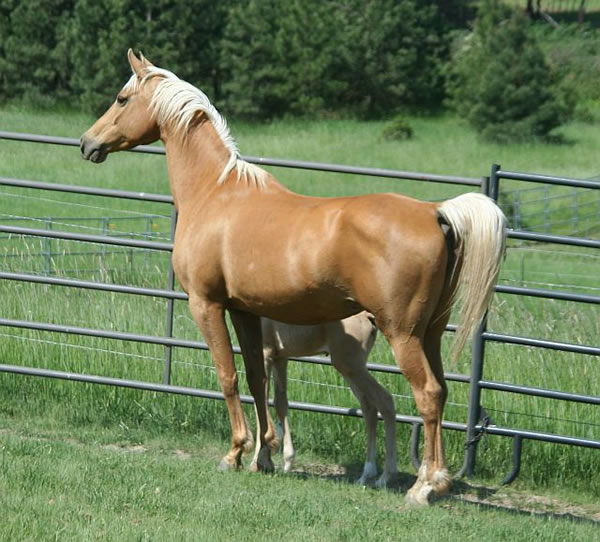 Palomino Arabian mare and filly