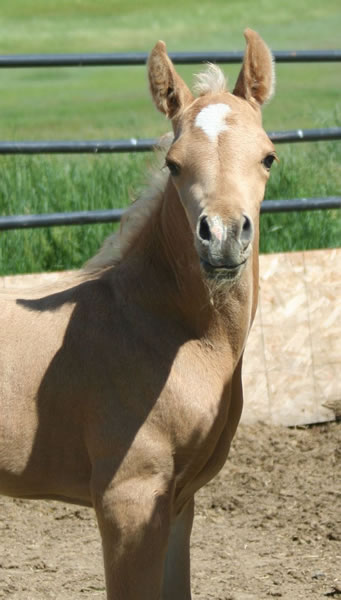 Palomino Arabian colt at Krisean Performance Horses