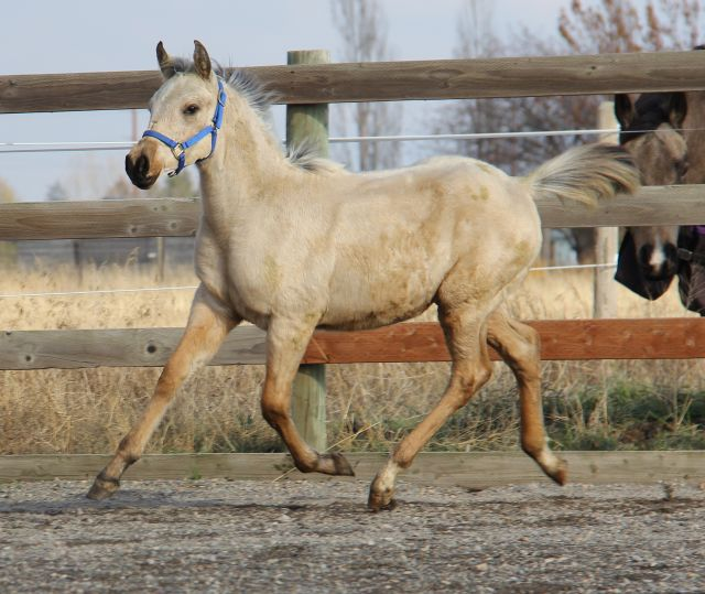 Palomino, buckskin, perlino, cremello performance Arabian and
