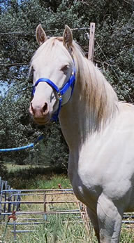 Arabian perlino,