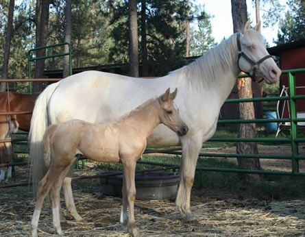 Palomino Arabian filly, Cremello mare