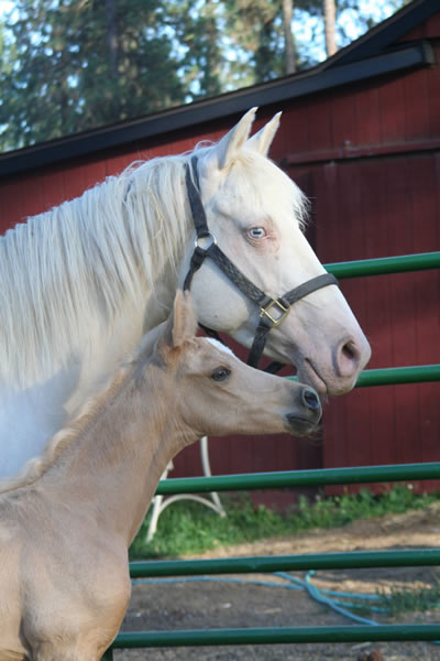 Palomino Arabian filly, cremello paint mare